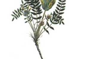 Трава астрагал лечебные свойства и противопоказания