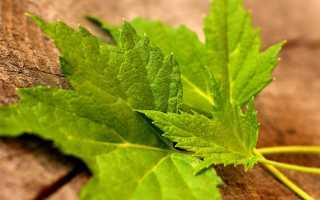 Смородина листья польза и вред