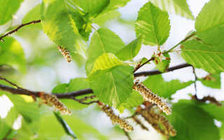 Аллергия на цветение деревьев лечение