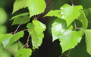 Лечение аллергии березовыми листьями