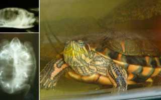 Какие антибиотики колоть красноухой черепахе при пневмонии
