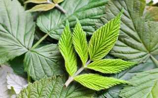Листья малины лечебные свойства и противопоказания