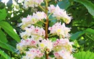 Чай из цветов каштана польза и вред