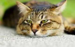 Отравление кошки симптомы и лечение
