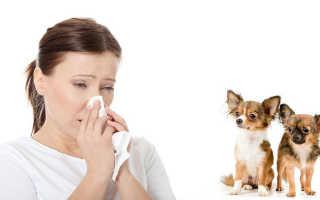 Аллергия у чихуахуа лечение