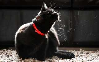 Шотландская вислоухая кошка аллергия у детей