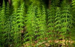 Хвощ полевой лечебные свойства и применение