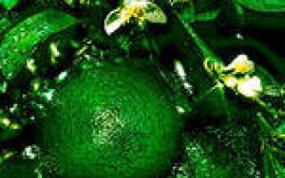 Эфирное масло литсей кубеба