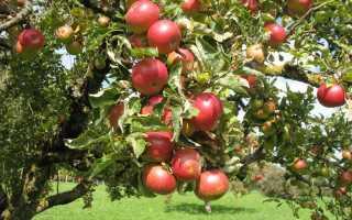 Где должна быть прививка посадке яблони