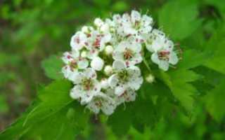 Цветы боярышника полезные свойства и противопоказания